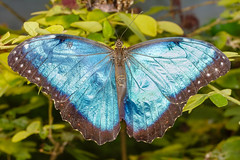 Blue Morpho (tresed47) Tags: 2015 201503mar 20150314newyorkjacksbirthday butterflies canon7d content events folder insects jacksbirthday longisland ny peterscamera petersphotos places riverhead takenby us