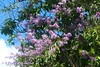 Resedá, Crape Myrtle, San Salvador (ssspnnn) Tags: litracea lythraceae orgullodeindia reseda crapemyrtle laegerstroemiaindica sansalvador elsalvador canoneos70d spnunes nunes snunes spereiranunes flores planta arbol arvore