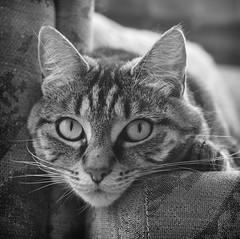 Watching (M J Adamson) Tags: sweetpea cats pets mono blackwhitephotography nz newzealand