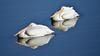 LakeChabot_011417_113 (kwongphotography) Tags: lakechabot castrovalley birds calif americanwhitepelican pelican wildlifephotography nature naturephotography wildlife unitedstates