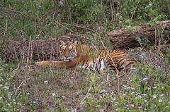 Alert (Deepu Cyriac) Tags: travel tamilnadu nature nilgiribiosphere mudumalaiwildlifesanctuary mudumalai mudumalaiwls wildlife westernghats indianforest royalbengaltiger bengaltiger tiger bigcat