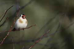 European Goldfinch (kidbirder) Tags: