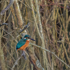 Kingfisher 2 (Alan Pope) Tags: kingfisher bird neneparktrust ferrymeadows wildlife