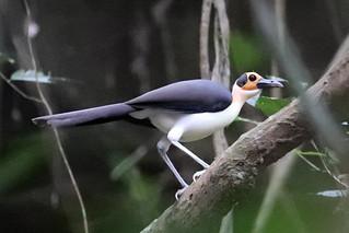 White-necked Rockfowl - Picathartes gymnocephalus