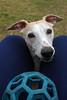 Cutie Pie (DiamondBonz) Tags: spanky hound whippet gotcha day handsome dog pet