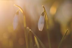 Signs of spring (Pog's pix) Tags: snowdrops morning bokeh light morninglight garden plant spring winter white ayrshire eastayrshire scotland macro detail closeup flare sunlight green orange