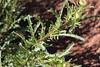 Weed - Ox-eye daisy (leaves) (Environment + Heritage NSW) Tags: weed weedcontrol weedmanagement noxiousweed kosciuszkonationalpark kosciuszko keythreat keythreateningprocess weedwise oxeye oxeyedaisy leucanthemumvulgare