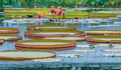 Amazonica (12bluros) Tags: victoriaamazonica giant waterlily nybg newyorkbotanicalgarden tropicalwaterlilypond lilypads plant flowers worldtrekker bronx newyorkcityusa