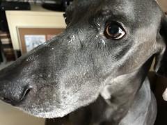 Yogurt Evidence Special Unit (VanaTulsi) Tags: vanatulsi weim weimaraner dog blueweim blueweimaraner