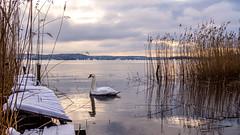 Winter Swan (Jens Haggren) Tags: olympus em10 winter swan jetty landscape sea water sky reed nacka sweden jenshaggren