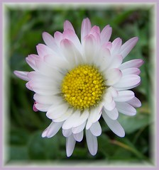 Daisy (ERIK THE CAT Struggling to keep up) Tags: wildflowers daisy castlechurch stafford ngc