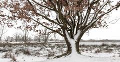 An old oak (Kees Waterlander) Tags: winter drenthe sneeuw bargerveen nederland