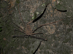 Tailless Whip Scorpion (Ken Pick) Tags: amazonbasin taillesswhipscorpion ecuador 117picturesin2017 southamerica naporiver travel sachalodge scary fearsome