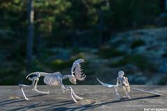 Sweden : games - Pose Skeleton - Toy photography - Miniature - Eat my Bones (EatMyBones) Tags: bones miniature nature poseskeleton rement skeleton sweden toy