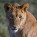 Female lion in Ndutu, Tanzania, East Africa