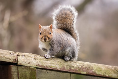Grey Squirrel - gets everywhere and helps the proper animals with their feed (SKAC32) Tags: edinburghzoo rzss scotland sigma150600mmf563dgoshsm|contemporary015 greysquirrel