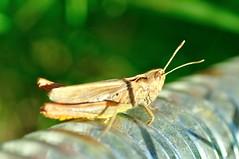 grasshopper (Maudby) Tags: life macro nikon earth insects bugs grasshopper vårtbitare nikond90