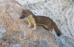 Weasels wobble but they don't fall down (~ Bob ~) Tags: park mammal rodent long wildlife tail grand national short weasel wyoming teton