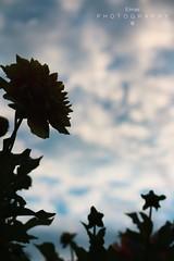 Anonym flower (Derya Elmas) Tags: flower nature beautiful canon photography interesting fantastic himmel perspektive ilovephotography iek gzel anonym