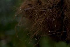 rainy forest #2 (fl*clover) Tags: plants green rain nikon dof bokeh raindrops mothersgarden autumnrain d5000  carlzeissjenaddrmcflektogon35mmf24