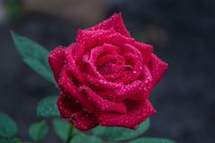 Rose (ValeTer_) Tags: flower rose