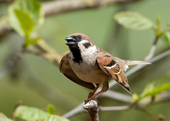 Tree Sparrow (Dale Ayres) Tags: elements