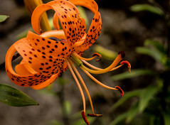 tiger lily-173 (TB 5161) Tags: plant flower macro nature norway norge outdoor sony natur bergen tigerlily hordaland fana noreg milde aboretet sonyslta77