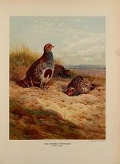 Anglų lietuvių žodynas. Žodis grey partridge reiškia kurapka lietuviškai.
