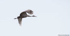 Sandhill Crane - In flight (digithief) Tags: ca cambridge ontario canada birds nikon sandhillcranes d800