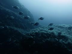 Salema Porgy, Reqqa Point, Gozo (yayapapaya77) Tags: fish wall rocks underwater diving malta fisch mediterraneansea gozo felsen tauchen unterwasser mittelmeer northerncoast steilwand nordküste reqqapoint goldstrieme salemaporgy canonpowershotg15