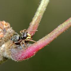 DSC_3714_DxO (Berzou) Tags: spiders araignes nikon105mmf28 saltique specinsect macrodreams nikond7000 macrodenaturalezza