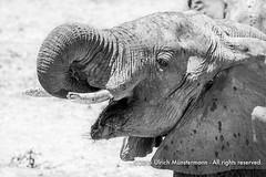 A herd of elephants drinking from and enjoying the mud in the Chinzombo Lagoon in front of the Kapani Lodge, Zambia (Ulrich Münstermann) Tags: africa travel holiday vakantie blackwhite colours safari afrika za ferien zambia reise farben reizen drinkingwater kleuren zm easternprovince southluangwanationalpark luangwariver kapanilodge kakumbi 150900zambia muchingaprovince chinzombolagoon