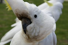 Here's looking at you (keppet) Tags: bird australia melbourne cockatoo greatoceanroad lorne notlikethehost