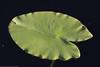 Lumpeenlehti (mvert) Tags: kasvit lumpeet