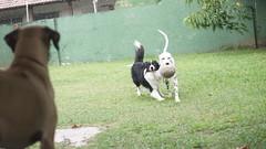 DSC02947 (agorayebm) Tags: dog bordercollie dalmatian crick dlmata