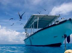 Explosion of sea gulls,Tahitian Rangiroa island 10 years before (sapphire_rouge) Tags: tahiti france kiaora lagoon atoll resort seagull rangiroa polynesia snorkeling animal  maple  kaede   franchpolynesia    atool polynsiefranaise  island