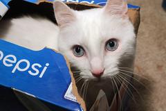 Cat in the Box (Doctor Beef) Tags: pet white cute animal cat box brian turd thejerkstorecalledandtheyrerunningoutofbrian