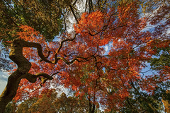 Fall Fireworks (gimmeocean) Tags: autumn fall newjersey nj fallfoliage japanesemaple acerpalmatum autumnal redleaves rahway