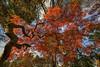Fall Fireworks (gimmeocean) Tags: autumn fall newjersey nj fallfoliage japanesemaple acerpalmatum autumnal redleaves rahway