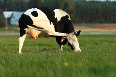 Trip at the Brain (airSnapshooter) Tags: animal cow europa europe meadow poland polska pomeranian krowa łąka kaszuby dairycow milkcow pomorskie canoneos400d kashubia canonef135mmf28sf