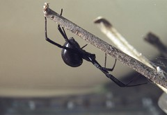 12 Years Ago: Riverside (Tony Pulokas) Tags: 2003 california autumn fall spider riverside blackwidow