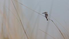 20151109_Shinde_0250.jpg (eLiL1860) Tags: bird birds botswana vögel vogel okavango piedkingfisher tierwelt graufischer safari2015