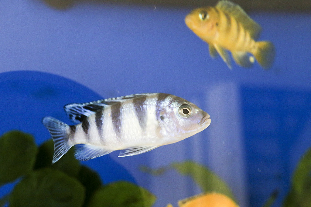 The world 39 s newest photos of cichlid and malawi flickr for Malawi buntbarsch