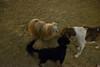 washington square park dog run (Charley Lhasa) Tags: fujifilmx70 fujifilm x70 185mm iso6400 ¹⁄₉secatf28 0ev aperturepriority pattern noflash dsf3684 raw uncropped taken161207183152 uploaded161210015853 2stars flagged adobelightroomcc20158 lightroomcc20158 adobelightroom lightroom charley charleylhasa lhasaapso dog dogs night evening washingtonsquareparkdogrun dogrun bigdogrun washingtonsquarepark wsp nycparks citypark urbanpark greenwichvillage manhattan newyorkcity nyc newyork ny tumblr161209 httpstmblrcozpjiby2fho5tq