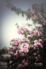 FL6 (Karen Duffy PhotoArt) Tags: bougainvillea plant pink foliage climbers hedge south america scrambling shrubs thorny ornamental vines
