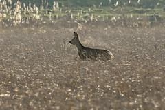 Deer in action (powerfocusfotografie) Tags: deer wildlife nature winter animal groningen netherlands action jump henk nikond7200 powerfocusfotografie