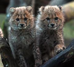 cheetah Burgerszoo JN6A8373 (j.a.kok) Tags: cheetah jachtluipaard acinonyxjubatus acinonyxjubates burgerszoo burgerzoo cat kat predator africa afrika mammal