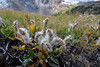Alpine Willow (Salix arctica) (Calochortus) Tags: willow alpinewillow salix salixspecies salixarctica wildflower yosemitewildflowers sierrawildflowers tuolumnecounty spillwaylaketrail
