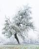 Frost covered mistletoe, the Nièvre, January 2017. (serial_snapper) Tags: républiquefrançaise winter landscape tree nièvredépartement bourgognefranchecomtéregion ciez bourgognefranchecomté france fr