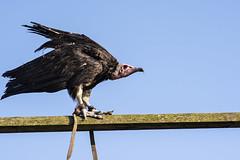 DSC_5362 (R.J.Boyd) Tags: bird prey raptor flight avian animals wildlife feathers beaks vulture eagle colour